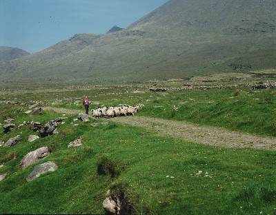 K2122 - Mount Brandon Sheep Farmer